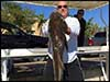 Dolphin Sun Charters | South Florida | Best Scuba Diving | Huge Cobias Caught Off South Florida